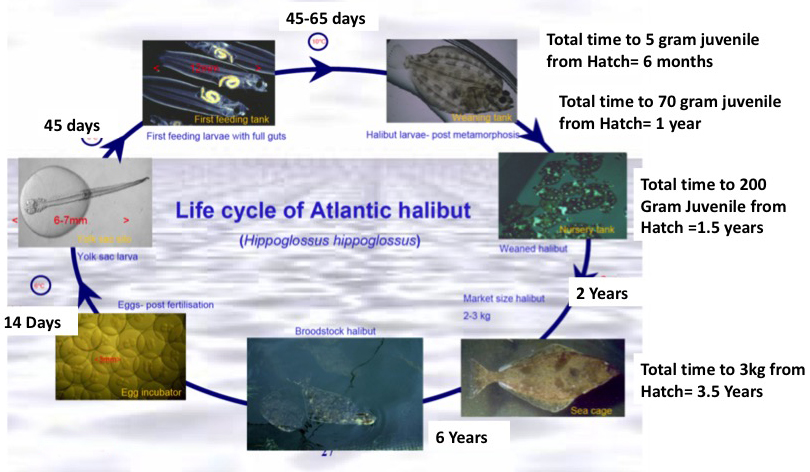 Halibut Life Cycle